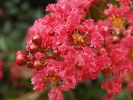 Cherry Dazzle crapemyrtle in mid-August