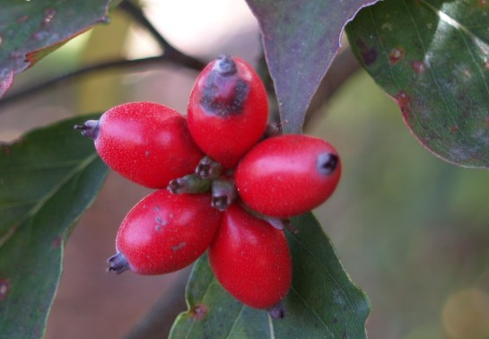 Dogwood berries in early November