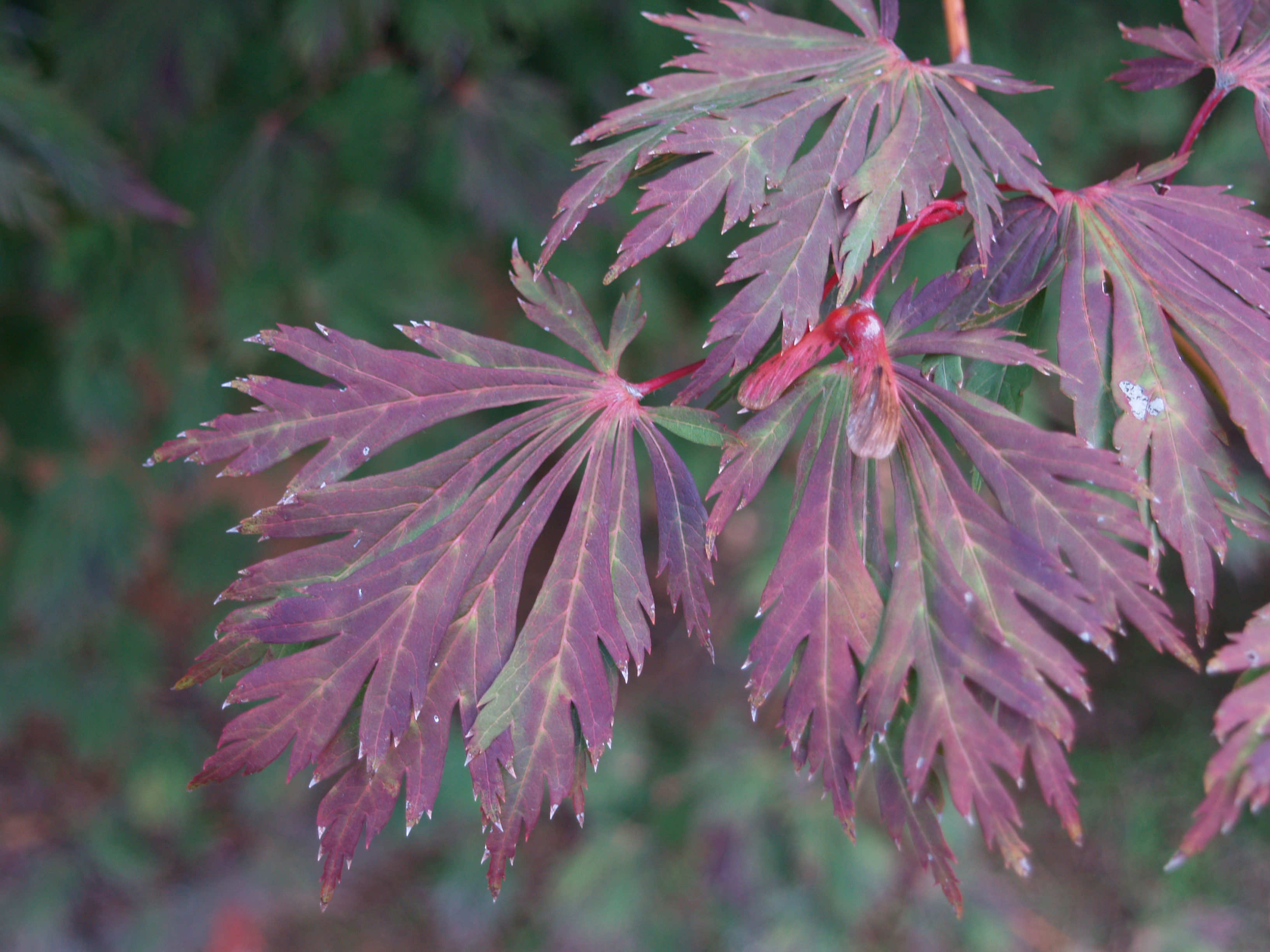 How to care for a fern leaf japanese maple - If