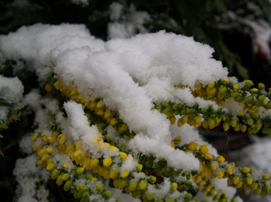 Snow on mahonia