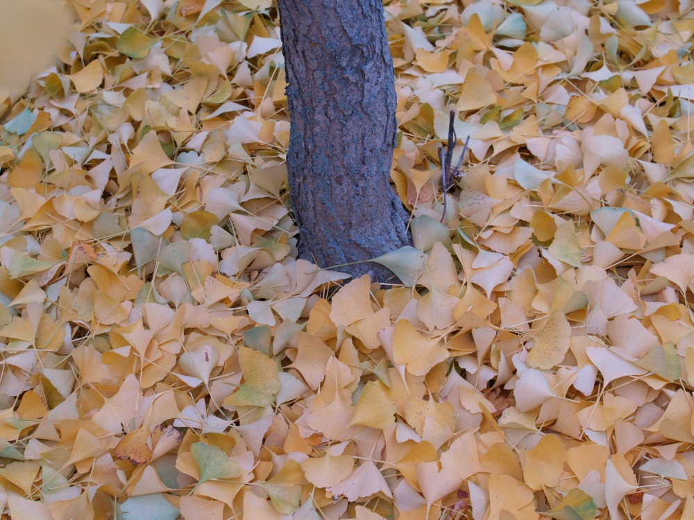 A carpet of ginkgo leaves