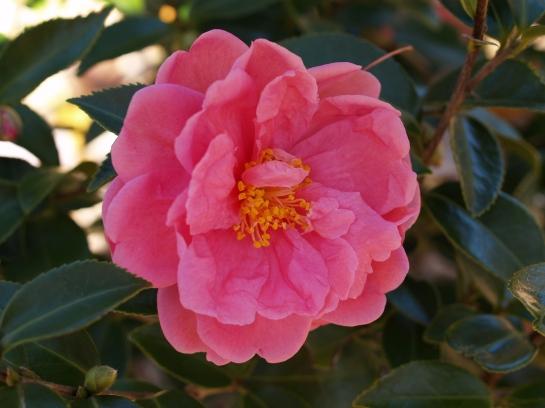 Winter's Joy camellia in mid November