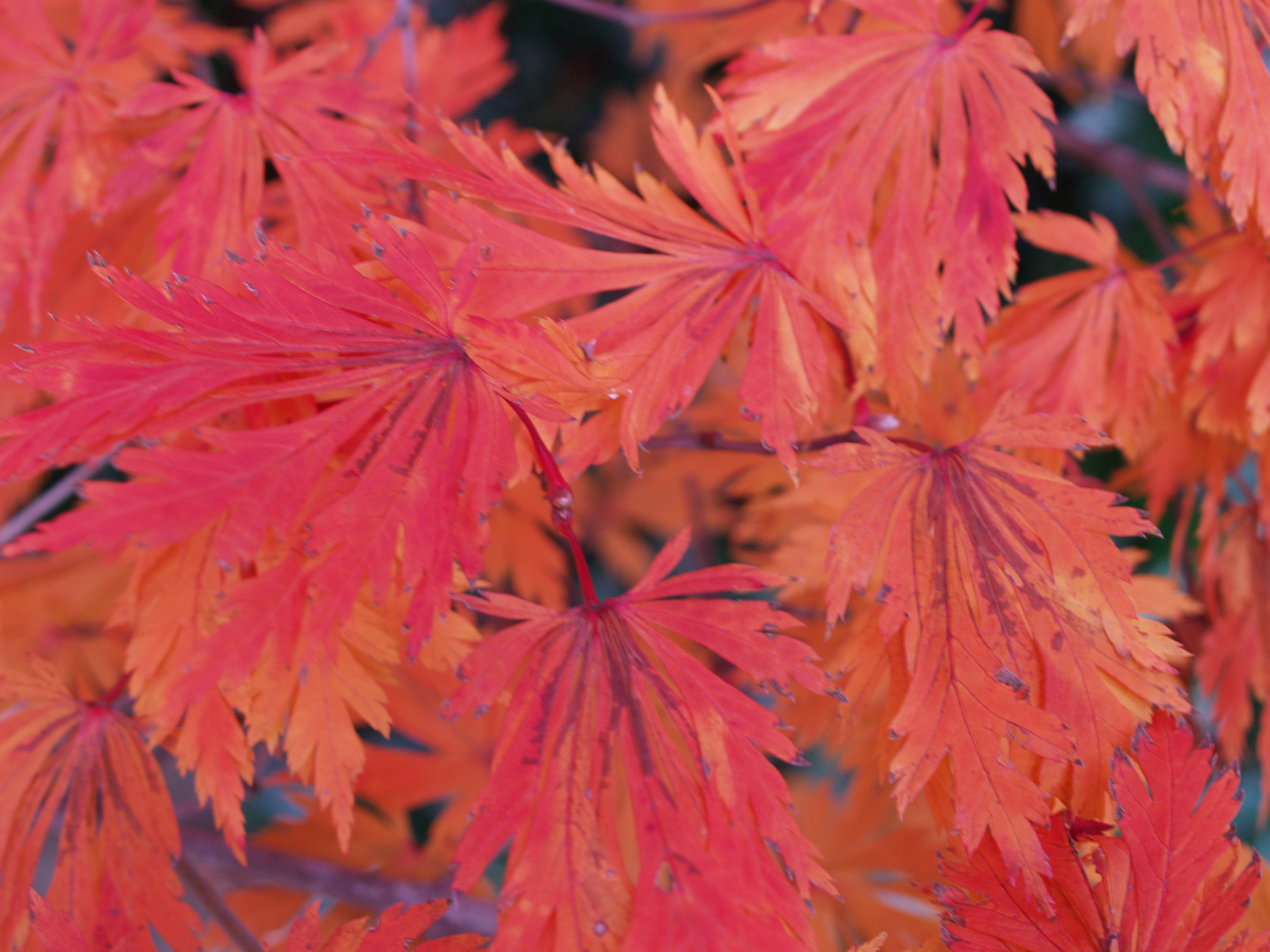 How to care for a fern leaf japanese maple - Lion S Head Maple