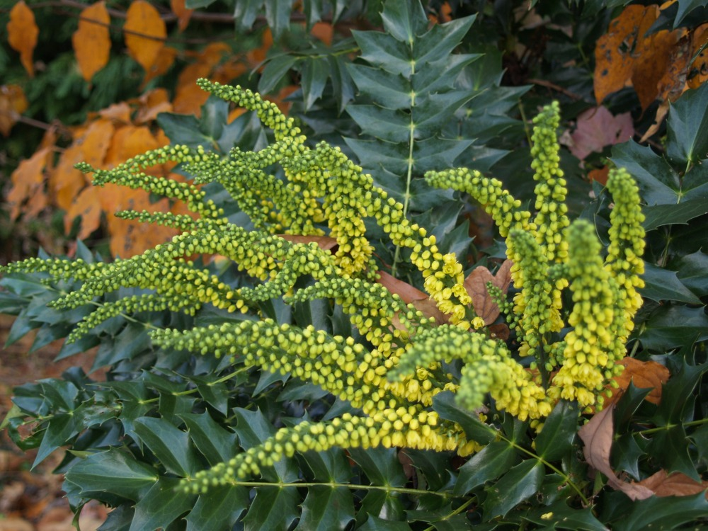 Winter Sun mahonia blooming in early December