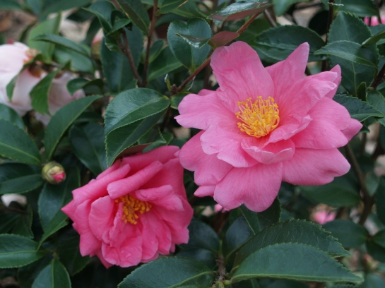 Winter's Joy camellia in early December