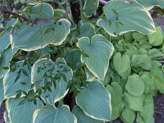 Hostas beneath a nandina