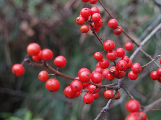 Red berries on a winterberry holly