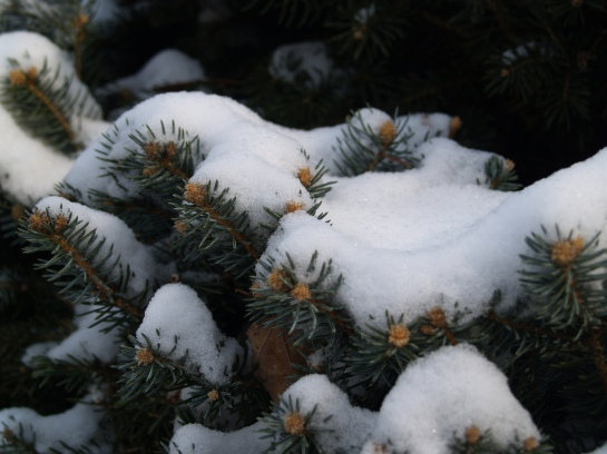 Snow on Colorado spruce