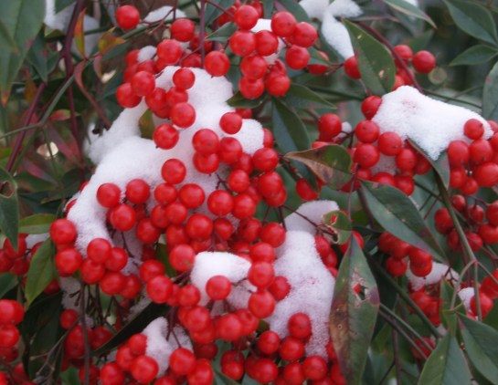 Snow and nandina berries