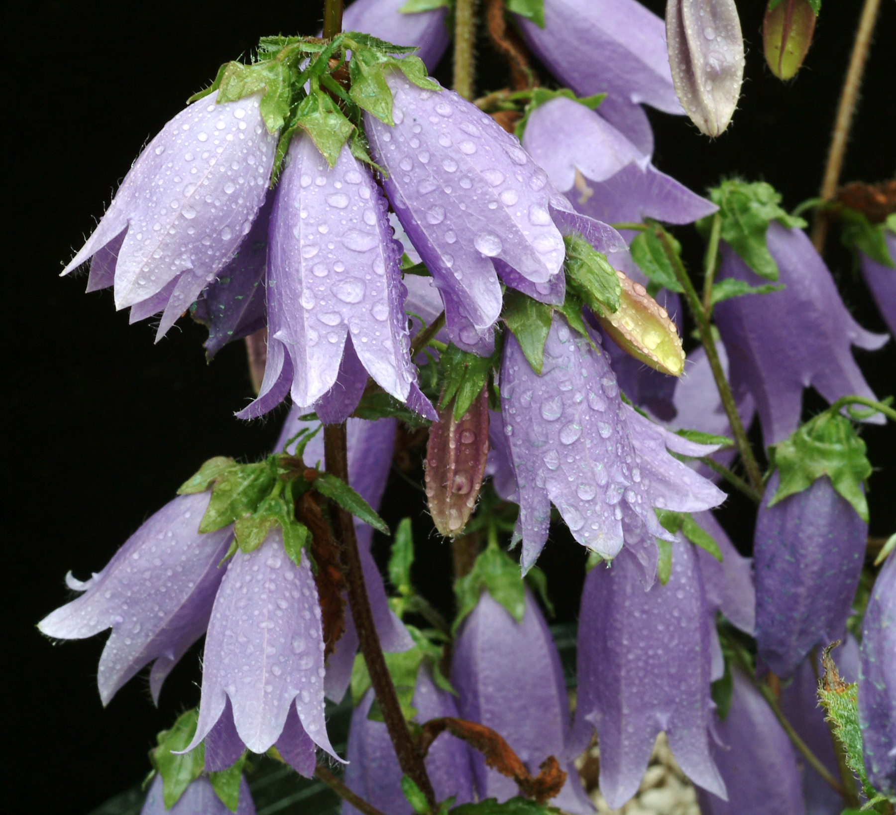 A dreary winters day ramblin through daves garden i have been inspired by my winter reading to plant bellflowers mightylinksfo