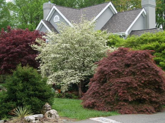 Crimson Queen and other maples obscure the house and partially obstruct the driveway.