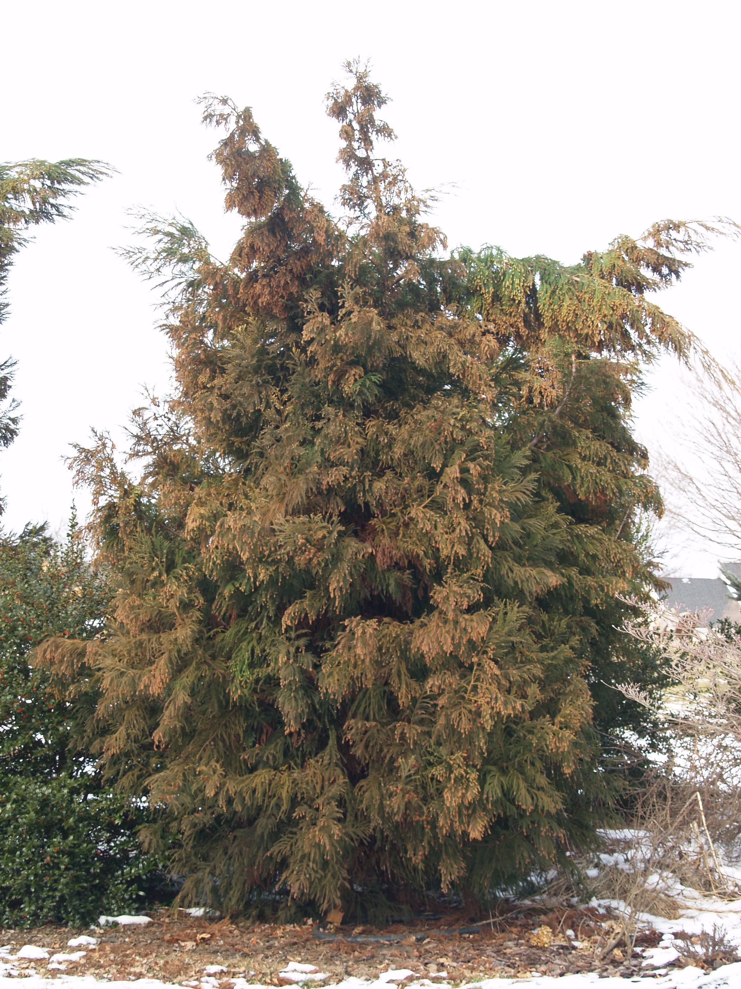 Repairing snow damaged trees   Ramblin\' through Dave\'s Garden