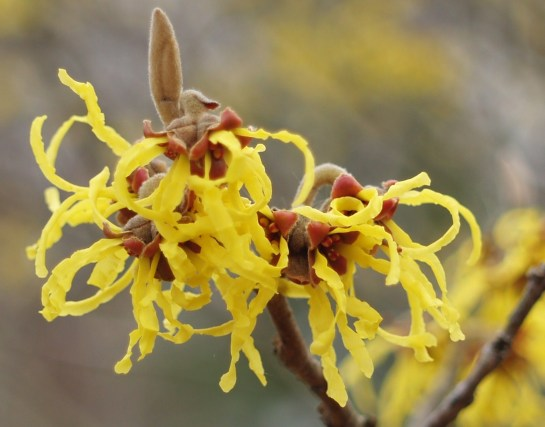 Arnold's Promise witch hazel in mid February