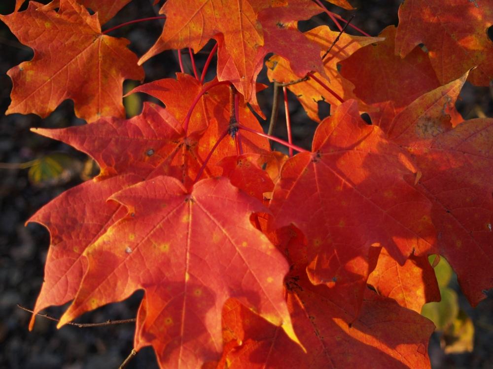 Maple autumn foliage