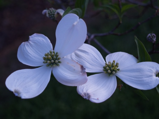 The native eastern American dogwood