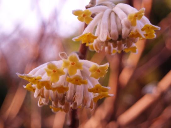 Edgeworthia beginning to bloom in mid-March