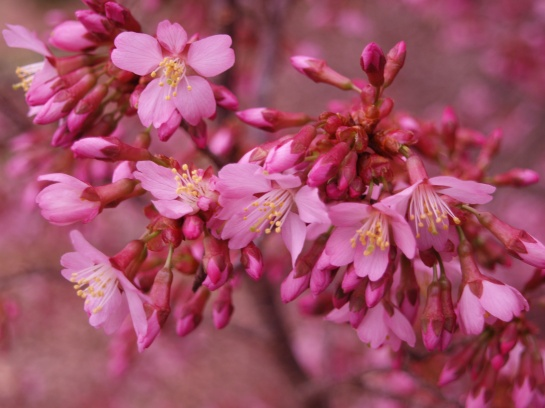 Okame cherry is the earliest to flower