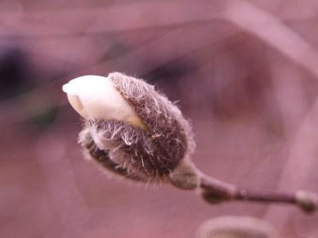 Star magnolia breaking bud