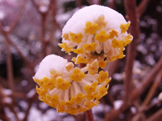 Edgeworthia blooms in a late March snow