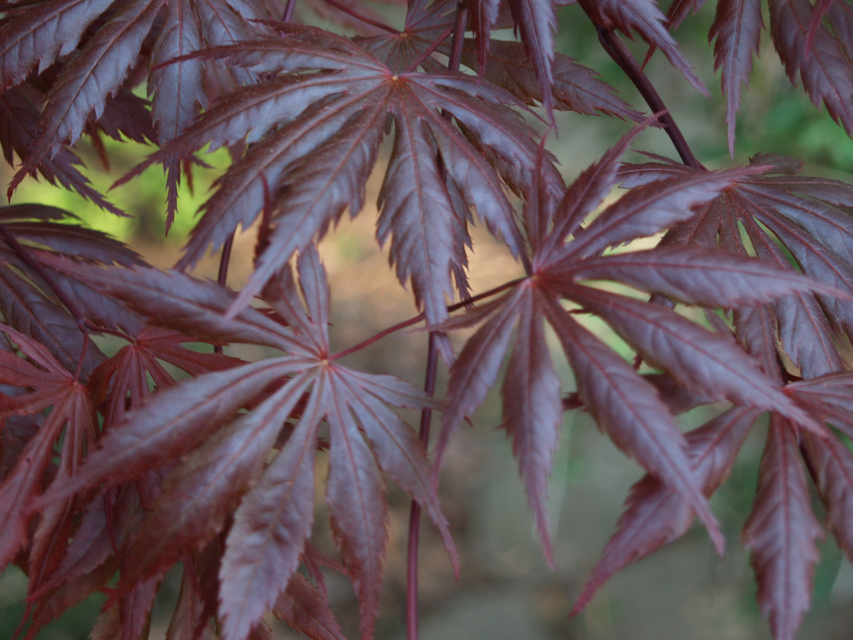 How to care for a fern leaf japanese maple - There