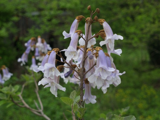 Paulownia in bloom