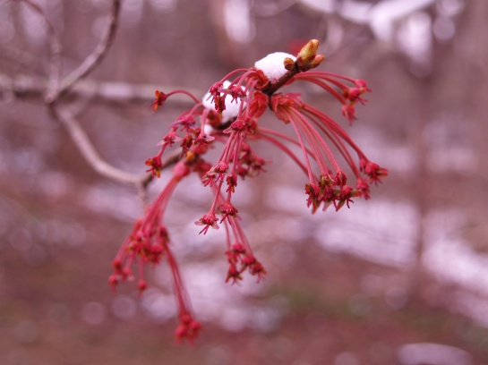 Red maple flowers in late March
