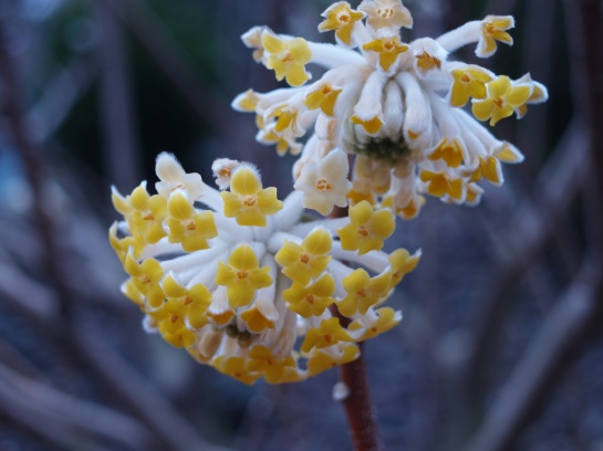 Edgeworthia in early April