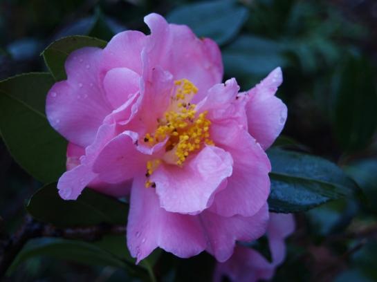 Winter's Interlude camellia