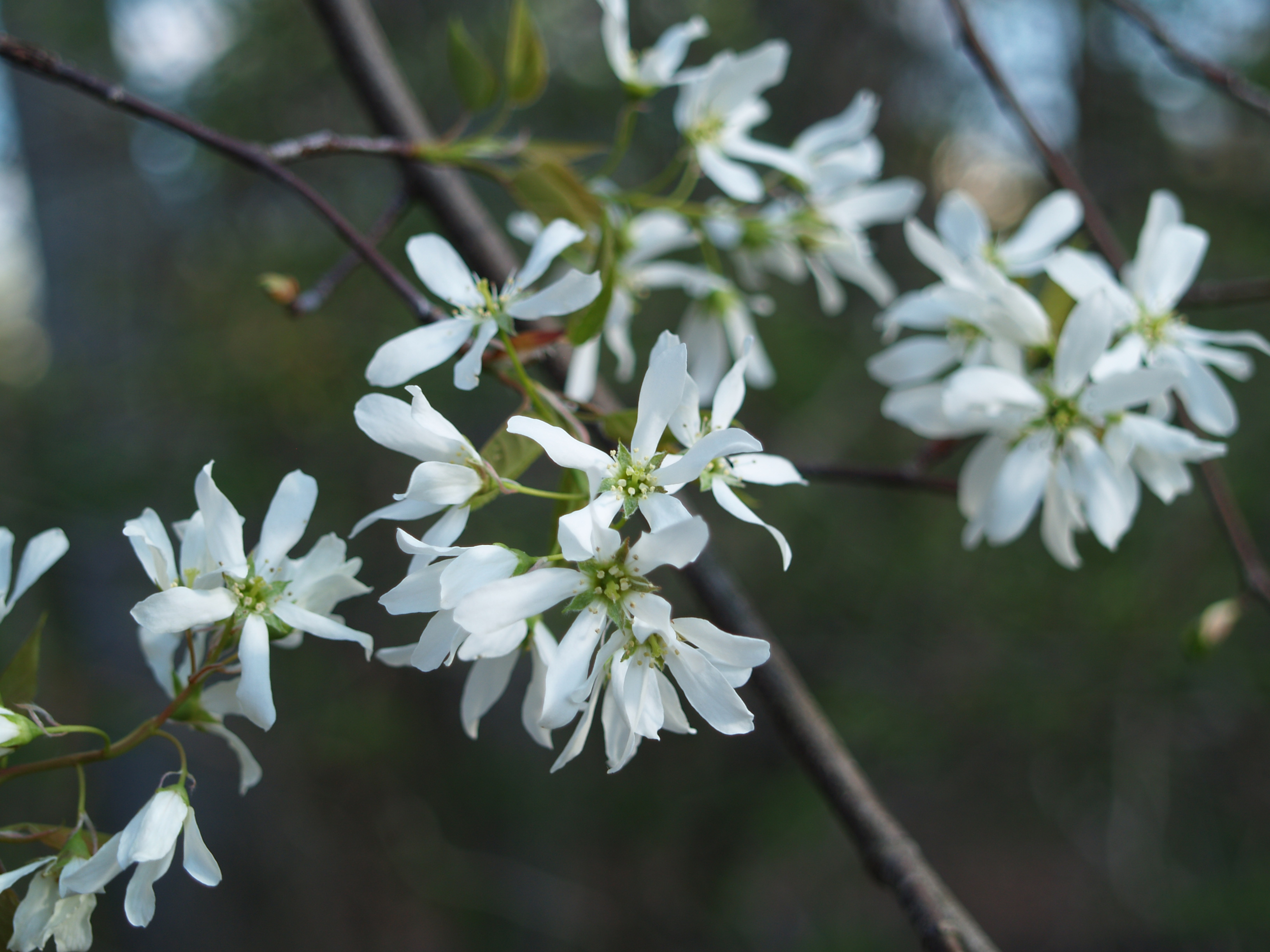 Native flowering trees from the forest to the garden ramblin serviceberry in mid april mightylinksfo