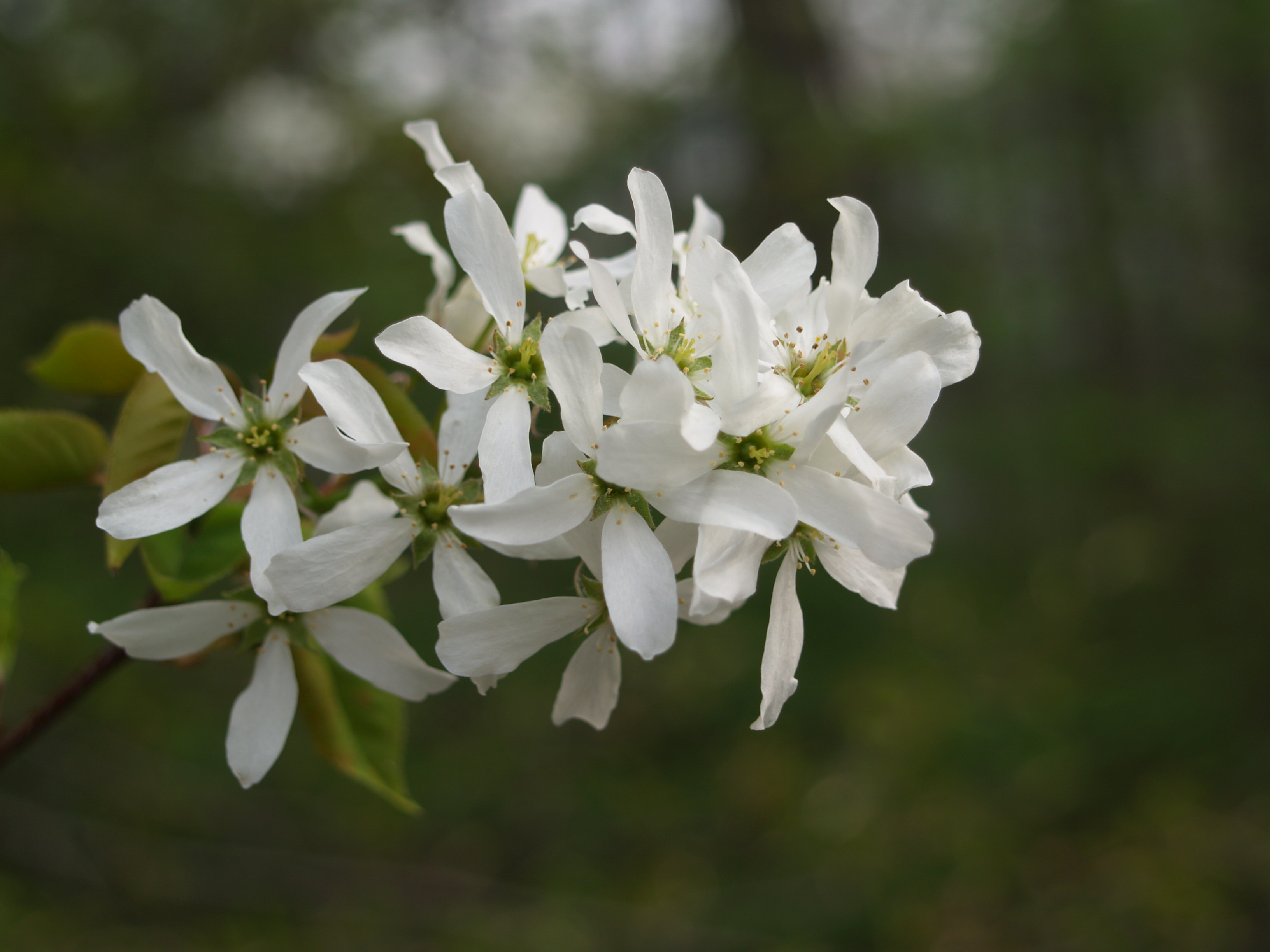 White Flowering Trees Savingourboysfo