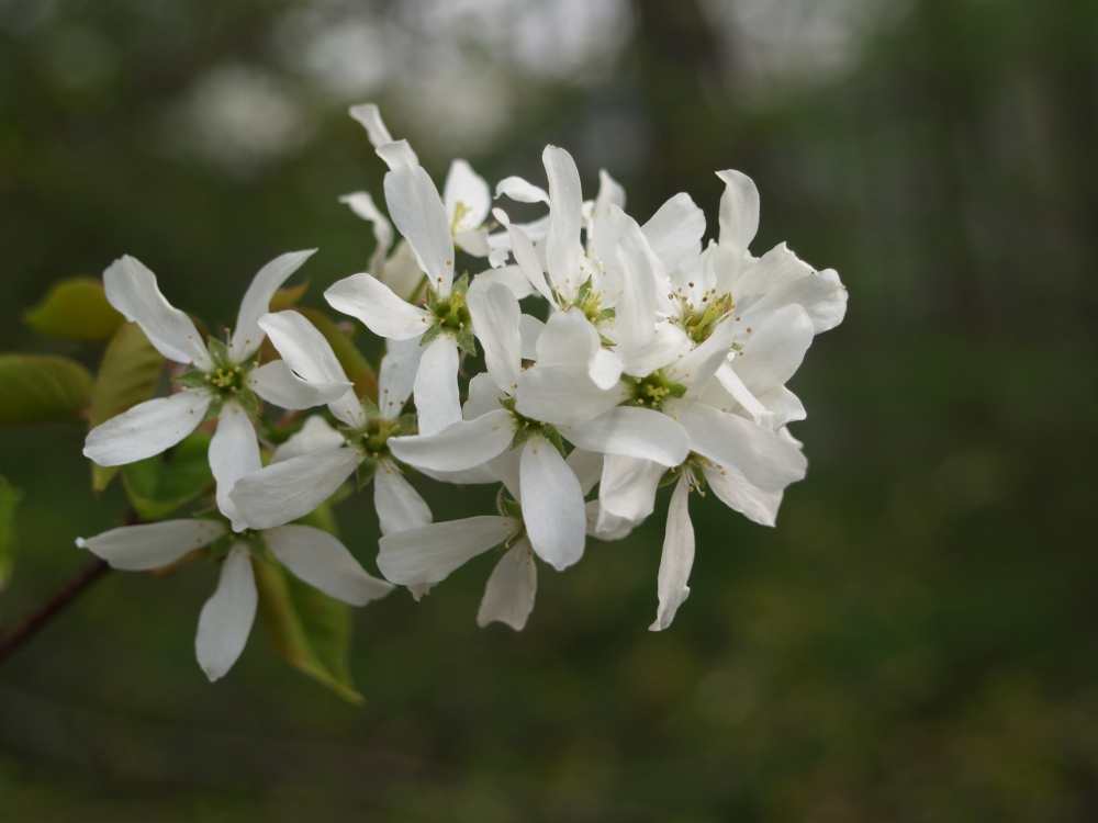 Serviceberry blooming in mid April