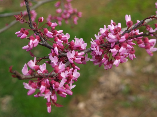 Redbud blooming in mid April