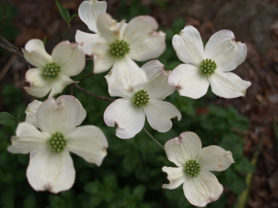 White dogwood in mid April