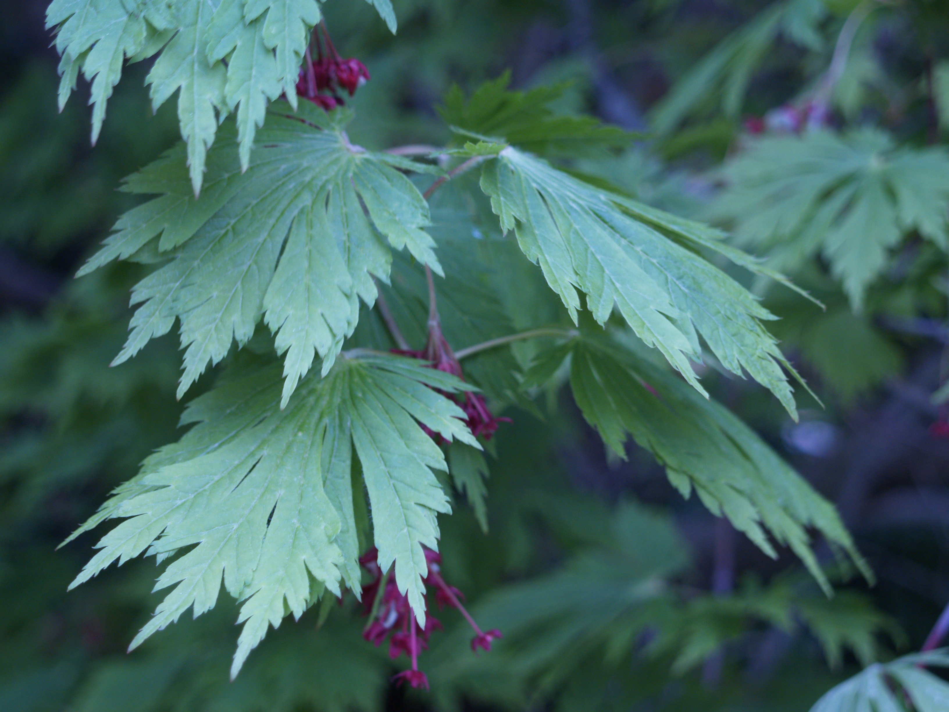 How to care for a fern leaf japanese maple - Perhaps You Have Found A Japanese