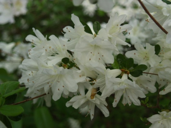 Delaware Valley White azalea in late April