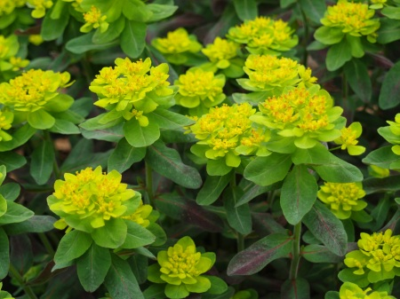 Bonfire euphorbia in late April