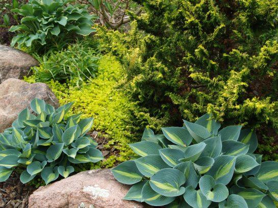 Hostas, creeping Jenny, and golden fernspray cypress