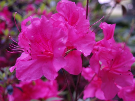 Encore azalea in early May