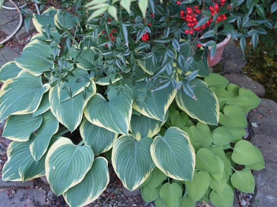 Nandina and hostas