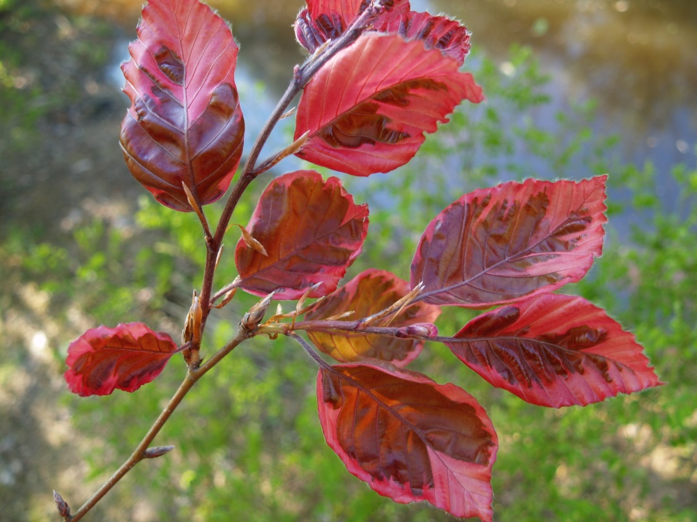 Tricolor beech foliage in early May