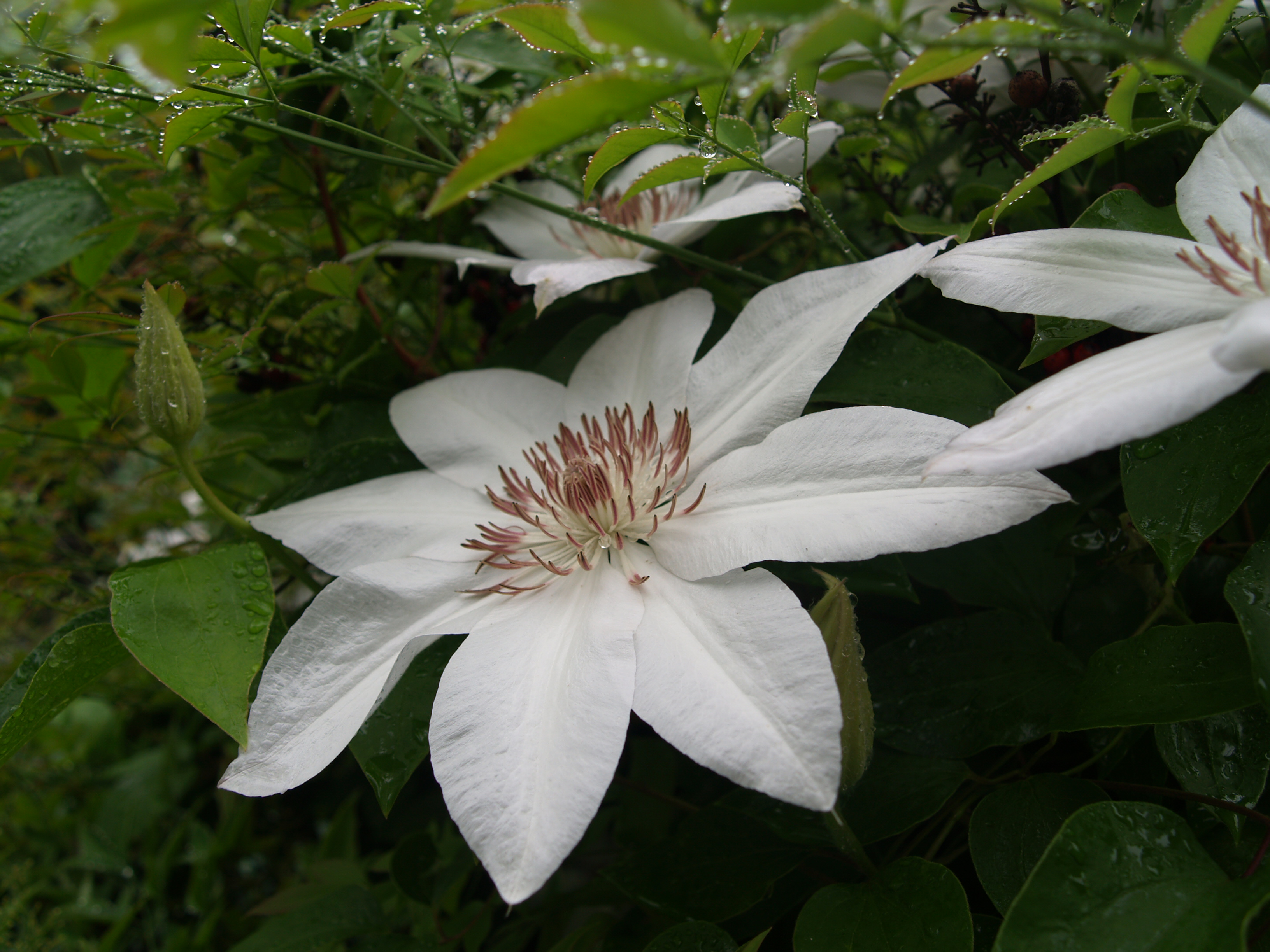 A clematis for every need | Ramblin' through Dave's Garden