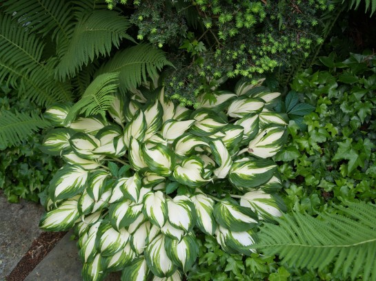 Hosta grows alongside Ostrich ferns that were transplanted from damp shade into much drier conditions.