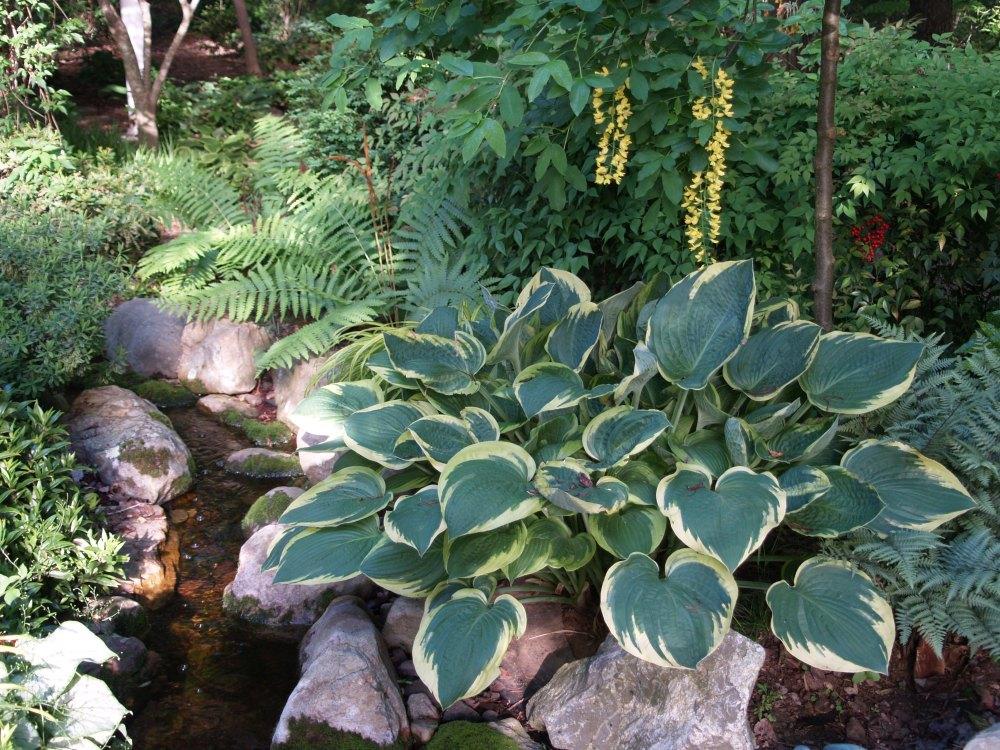 Hosta growing beside stream - beneath weeping Golden Chain tree