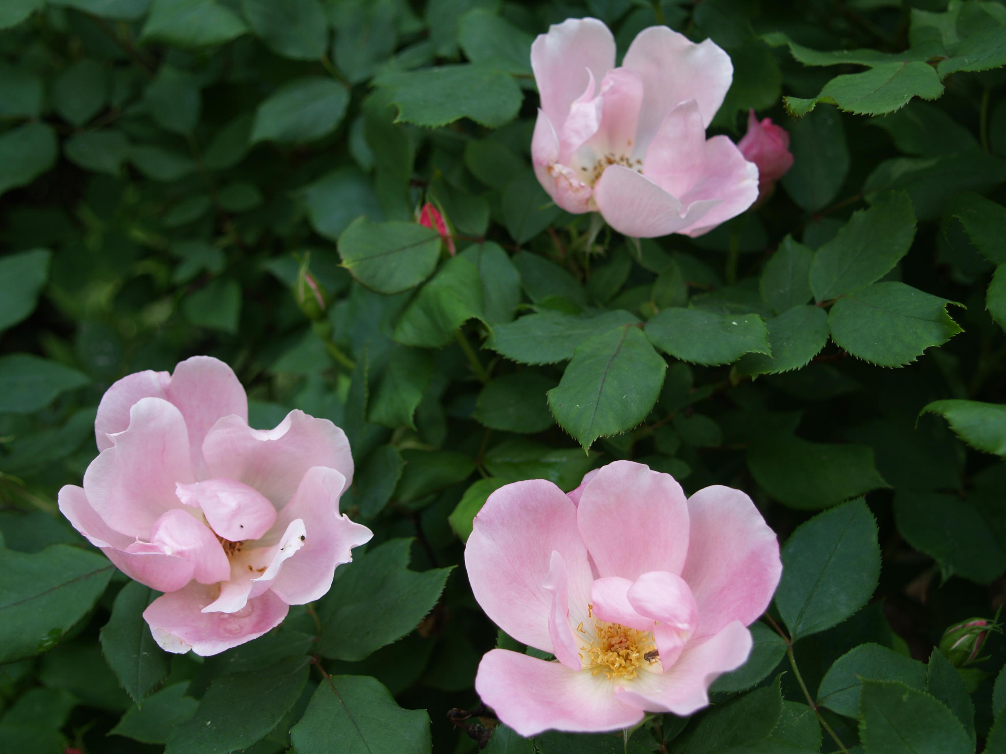 Low care roses | Ramblin' through Dave's Garden