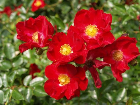 Red Flower Carpet rose