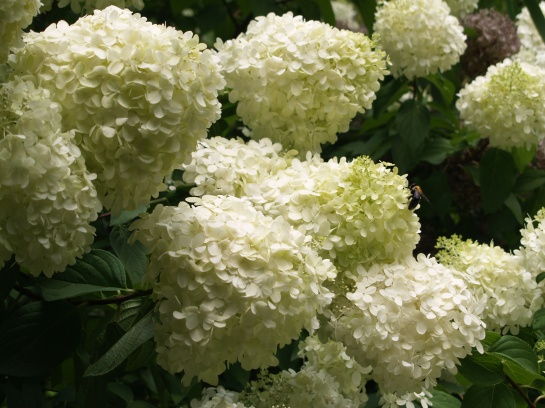 Limelight hydrangea in July