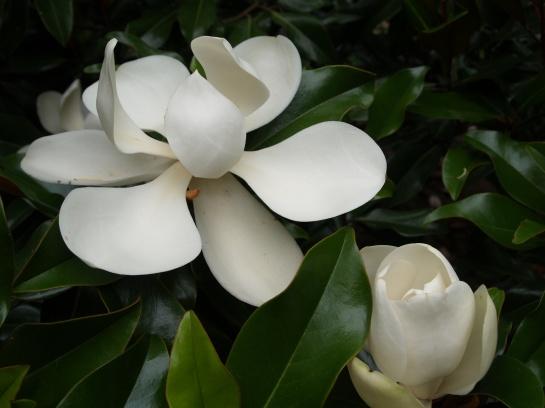 Brackens magnolia in mid June