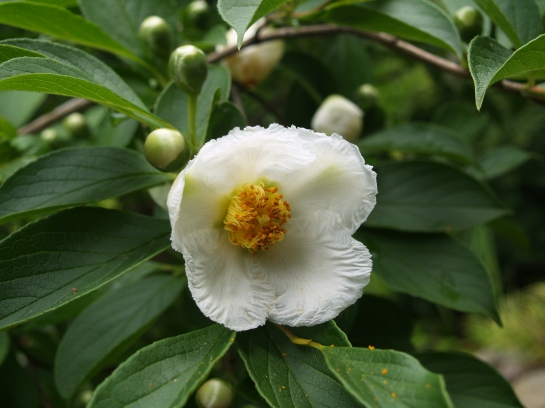 The Japanese Stewartia flowers for several weeks beginning in mid June.