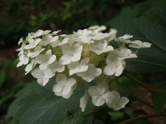 Oakleaf hydrangea in mid June