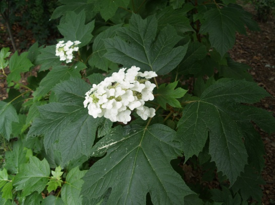 Huge leaves and blooms on Oakleaf hydrangea in mid June
